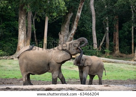 The elephant calf drinks at mum from a mouth. The African Forest Elephant (Loxodonta cyclotis) is a forest dwelling elephant of the Congo Basin.