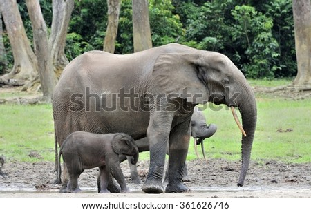 The elephant calf is fed with milk of an elephant cow The African Forest Elephant, Loxodonta africana cyclotis. At the Dzanga saline (a forest clearing) Central African Republic, Dzanga Sangha - stock photo