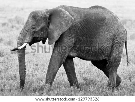 The elephant female in the Serengeti National Park - Tanzania, Africa (black and white) - stock photo