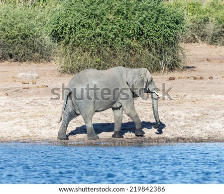 The elephant is on the banks of the Chobe river in national park Chobe, Botswana, South-Western Africa - stock photo