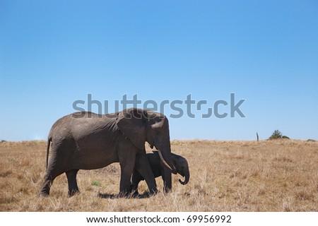 The elephants in Kenya - stock photo