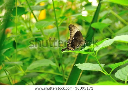 the emerald swallowtail shown with folded wings.