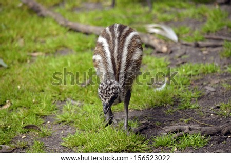 the emu chick is looking for food - stock photo