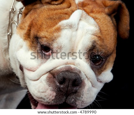 The English bulldog is one more breed of interesting dogs