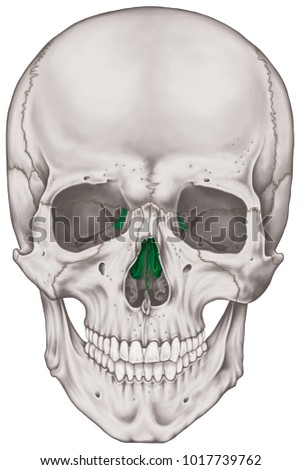 Ethmoid Bone Cranium Bones Head Skull Stock Illustration 1017739762