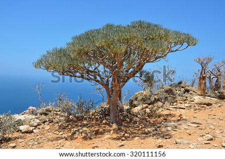 The Euphorbiatree, Socotra island. Yemen