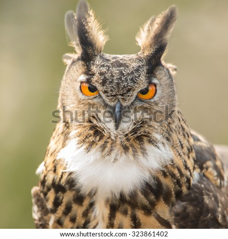 The Eurasian eagle-owl (Bubo bubo) portait - stock photo
