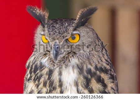 The Eurasian eagle-owl (Bubo bubo), species of eagle-owl resident in much of Eurasia