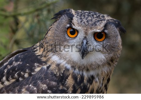 The Eurasian eagle-owl is a species of eagle-owl resident in much of Eurasia. It is sometimes called the European eagle-owl - stock photo
