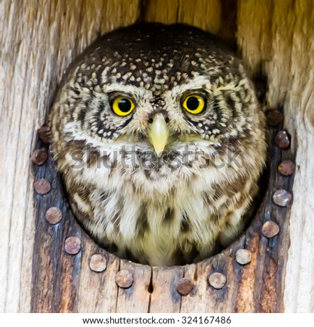 The Eurasian pygmy owl (Glaucidium passerinum) is the smallest owl in Europe. The owl preys on birds, some nearly as large as itself, and small mammals, such as voles. Here in a starling nest. - stock photo
