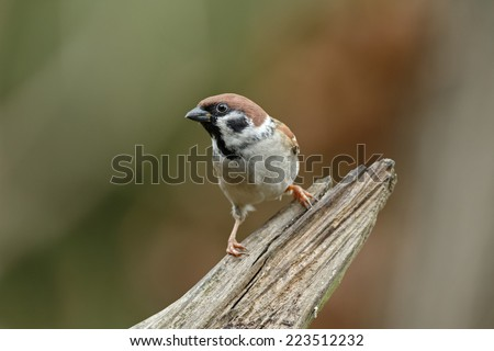 The Eurasian tree sparrow (Passer montanus)