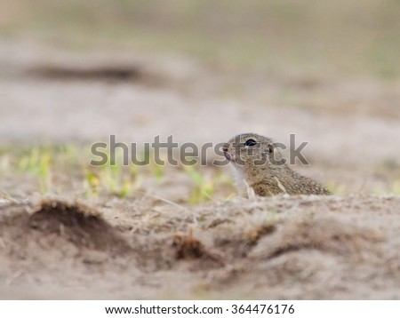 The European Ground Squirrel is hiding in the landscape - stock photo