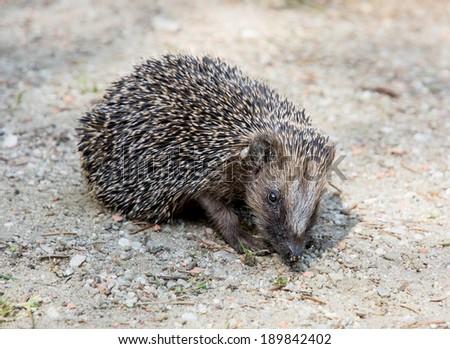 The European hedgehog (Erinaceus europaeus) looking for food. - stock photo