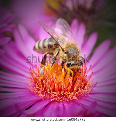 The European honey bee (Apis mellifera) pollinating  of The Aster (Symphyotrichum dumosum).