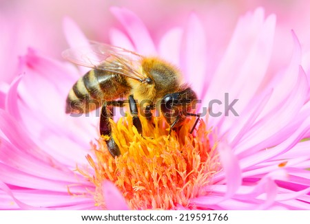 The European honey bee (Apis mellifera) pollinating of The Aster (Symphyotrichum dumosum).  - stock photo