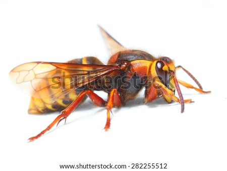 The European Hornet (Vespa crabro) on white background. Closeup  with shallow DOF. - stock photo