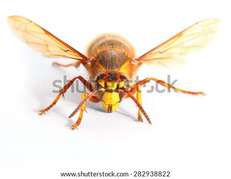 The European Hornet (Vespa crabro) on white background. Closeup with shallow DOF. - stock photo