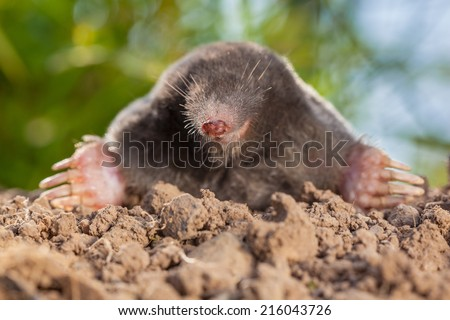 The European mole or Common Mole is a mammal of the order Soricomorpha - stock photo