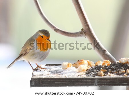 The European Robin (Erithacus rubecula) on a full bird table. - stock photo