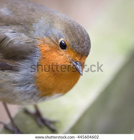 The European robin, most commonly known in Anglophone Europe simply as the robin. - stock photo