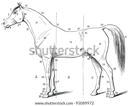 """The external form of the horse. Publication of the book """"Meyers Konversations-Lexikon"""", Volume 7, Leipzig, Germany, 1910 - stock photo"""