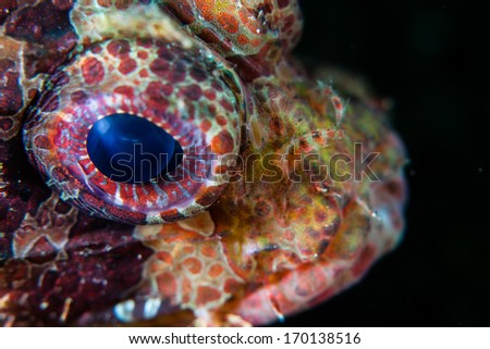 The eye of a Dwarf lion fish (Dendrochirus brachypterus) is large indicating that this animal is actively hunting at dawn and dusk, when natural light is not bright. This is a western Pacific species. - stock photo