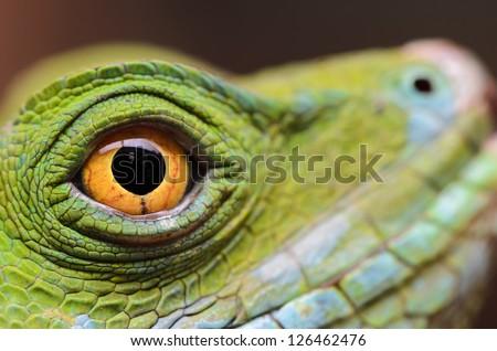 The eye of a Jesus Christ lizard (Basiliscus plumifrons) - stock photo
