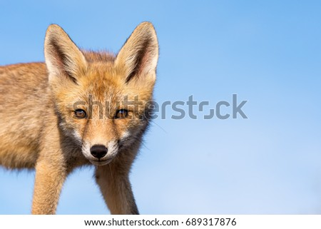 The eyes of the Red Fox. Full size picture!