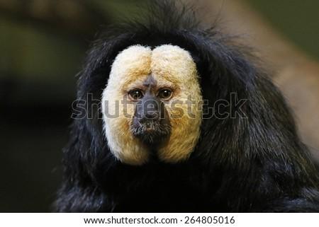 The face of a male White-faced Saki (Pithecia pithecia).  - stock photo