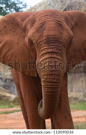 The face of the African elephant is big - stock photo