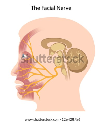 The facial nerve - stock photo