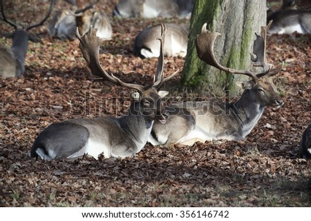 The Fallow Deers (Dama dama) - lying in the dry leaves. Autumn. - stock photo