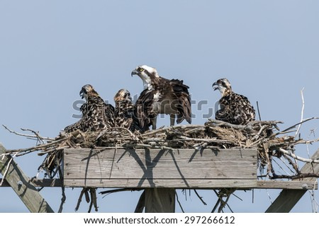 The Family of Ospreys  - stock photo
