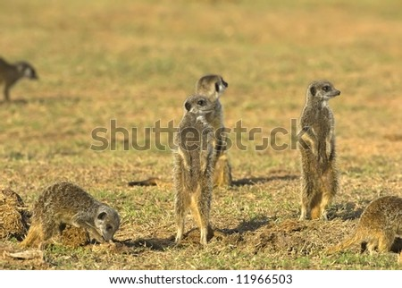The Family of Suricates socialize near their den
