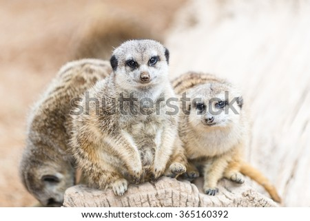The family of the  South African meerkats  (Suricate) - stock photo