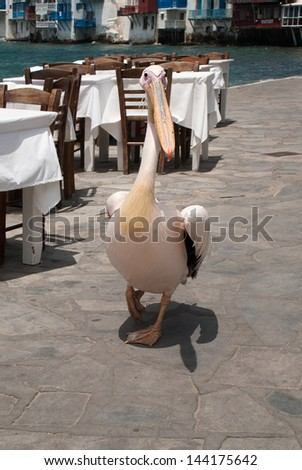 The famous pelecan walking by the sea on Mykonos island, Greeece - stock photo