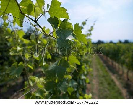 The famous wine producing industry -  Vineyard landscape in Italy   - stock photo