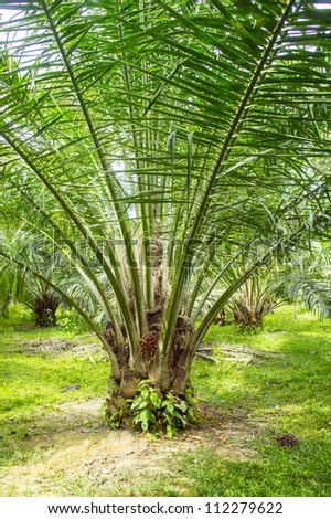 the farm of palm oil - stock photo