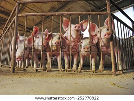 The farm pigs  - stock photo