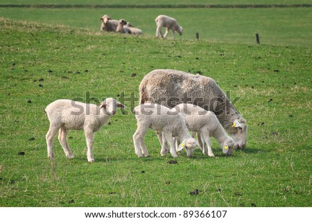 The Farm - the sheep on pasture . - stock photo
