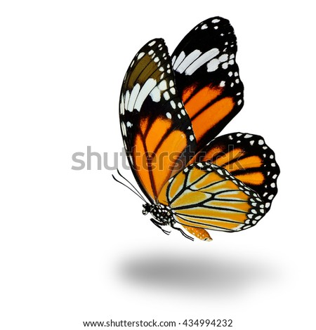 The fascinated flying Common Tiger butterfly (Danaus genutia) with wing sweeping and soft shadow beneath on white background - stock photo