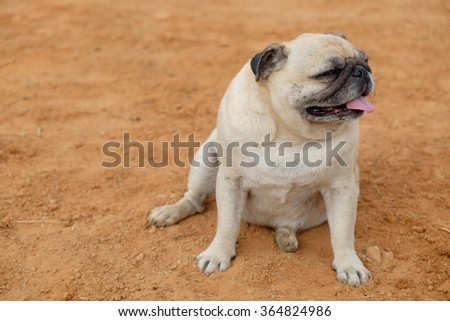 The fawn pug dog sitting on ground.