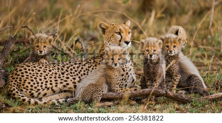 The female cheetah with cabs. Serengeti National Park. - stock photo