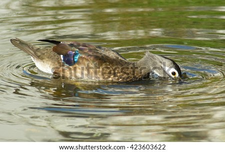 The female Mandarin duck swim on lake in search of food.