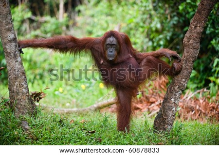 The female of the orangutan poses, having accepted a pose between trees. A green background of wood.