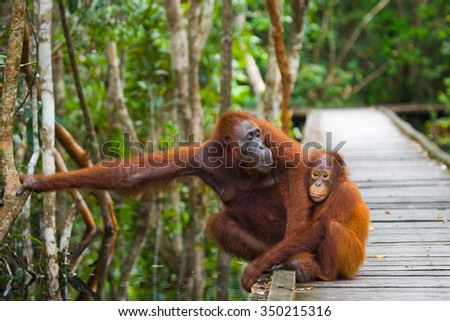 The female of the orangutan with a baby on a footpath. Indonesia. The island of Kalimantan (Borneo). An excellent illustration.