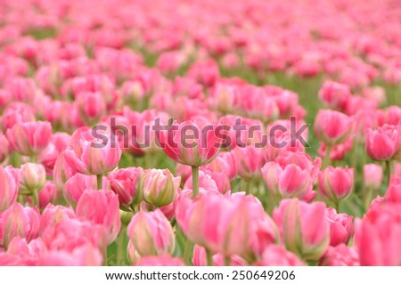 The field of pink tulips in the Netherlands
