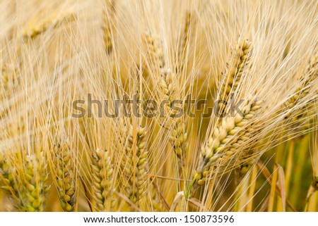 The Field of the ripe Barley
