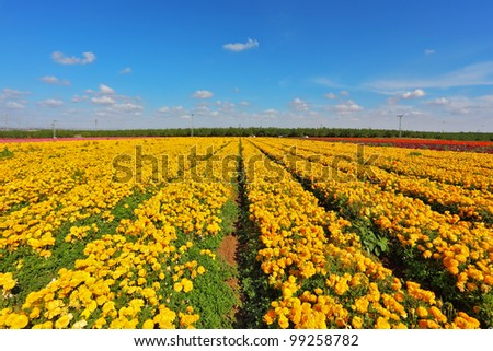 The fields with yellow flowers Ranunculus. Israeli spring. Flowers are grown for export - stock photo
