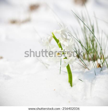 The first buds of white hyacinth in spring. Season concept. - stock photo